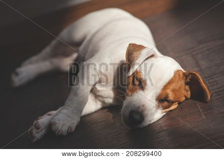 Dog sleeping at warm floor. Puppy at home. Pet