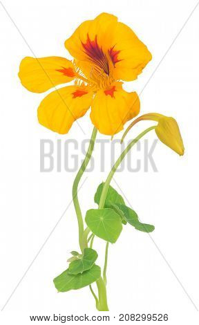 bright yellow and red nasturtium flower isolated on white background