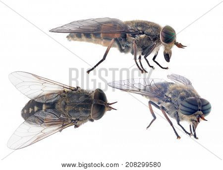 macro photo of pale giant horse-flies isolated on white background