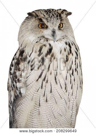 big eagle-owl isolated on white background
