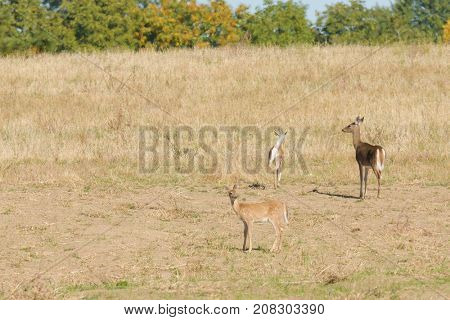 Female Whitetail deer (Odocoilus virginianus) with her two fawns