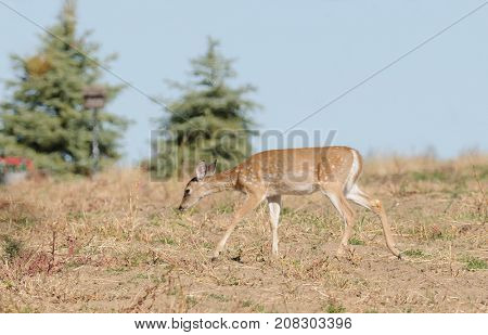 Young Whitetail fawn (odocoilus virginianus)