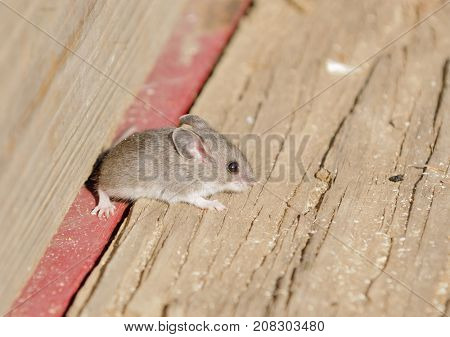 Closeup of a field mouse