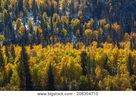 Autumn forest in the Altay Mountains, Russia.
