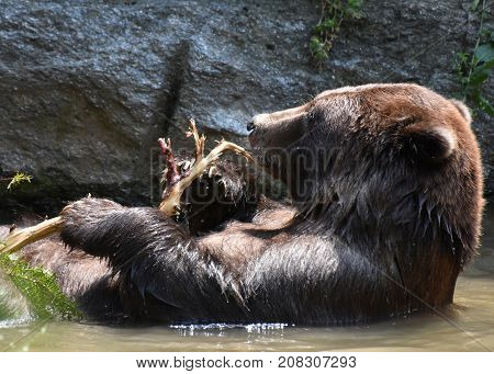 Beautiful peninsular bear bathing in the wild while holding a tree branch