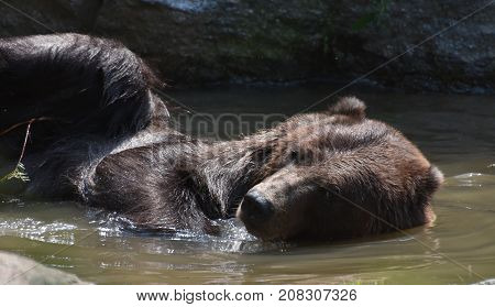 Adorable brown grizzly swimming on its side in the water