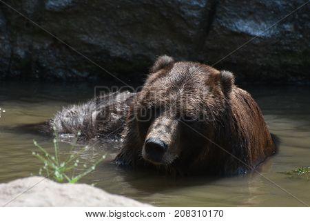 Wild brown bear bathing in the wild