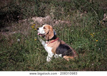 Beautiful puppy of a beagle dog breed in nature in a park.