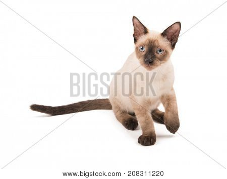 Siamese kitten sitting, looking up to the left of the viewer, on white
