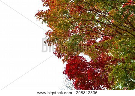 Spring maple leaf color change red green yellow orange on white background .