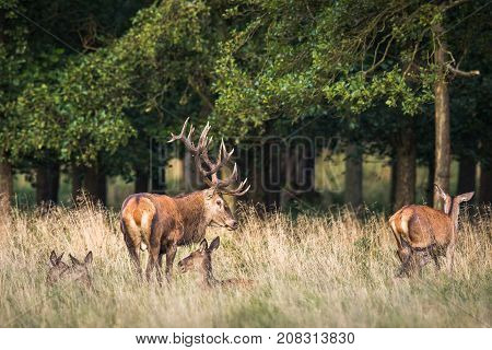 Red deer stag, Cervis elaphus, male with big antlers standing in the grass with trees in the background. Several females standing or lying around him, in the runting season in Jaegersborg Dyrehave Denmark