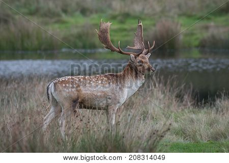 A standing full length portrait of a fallow deer stag looking proud on grass with a lake in the background