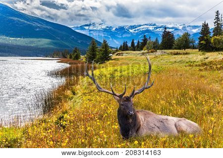 Grandiose landscape in the Rocky Mountains. The noble deer with branched horns rests on the shore of the lake. The concept of ecological and active tourism