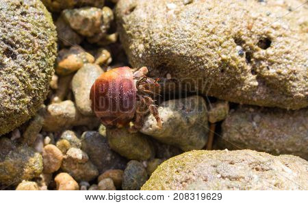 Hermit crab in red shell on tropical beach. Hermit crab with seashell macro photo. Cute animal from tropical seaside. Exotic island nature inhabitant. Beach day photo of sea crab. Tropical crayfish