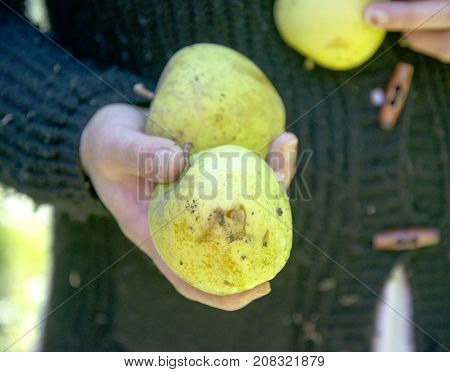 woman hand holding apple damaged by hail, shallow dof