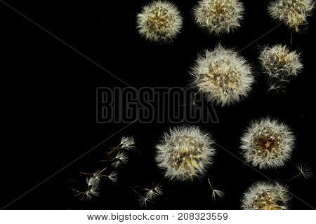 Abstraction of dandelions close-up on a black background. View from above