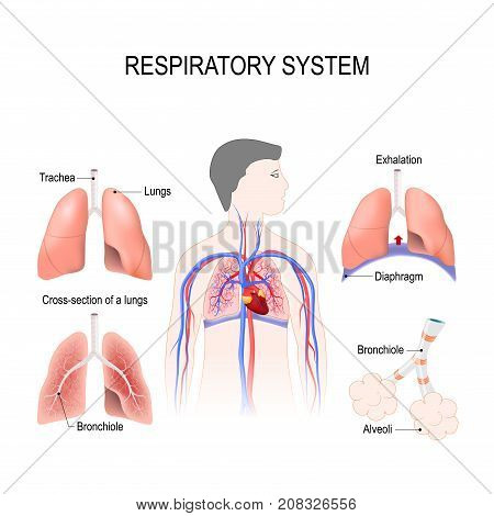 respiratory system: bronchiole and bronchi diaphragm trachea alveoli and cross-section of the lungs. Vector illustration for your design and medical use. human anatomy. silhouette of a man on white background.