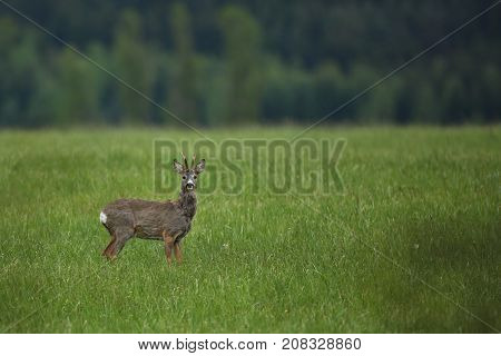 Roe deer male on the magical green grassland, european wildlife, wild animal in the nature habitat, deer rut in czech republic.
