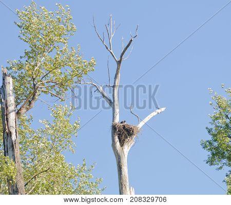 Bald Eagles nest in a dead tree along the St. Joseph river in Idaho