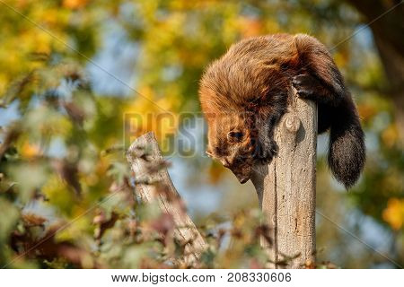 Majestic wolverine hang on a tree in front of the colourful background, great autumn colors, beautiful animal in the nature habitat, Gulo gulo.