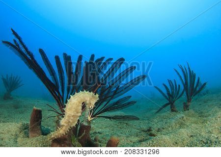 Thorny Seahorse and Featherstars
