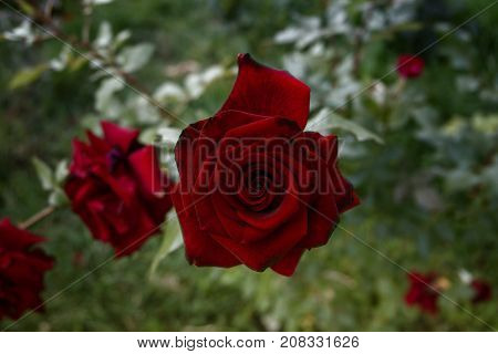 Red garden rose. Red rose on a green background. Red rose. Rose. Rose background. Romantic background. Rose style. Dramatic rose.