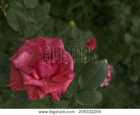 Old pink rose. Pink rose on a green background. Old rose. Old garden rose. Pink and green.