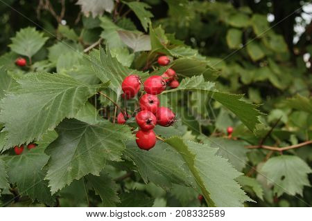 Bright beautiful bunch of red berries of hawthorn with green carved leaves.