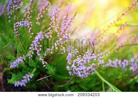 Beautiful Blossoming Purple Heather (calluna Vulgaris) As A Background