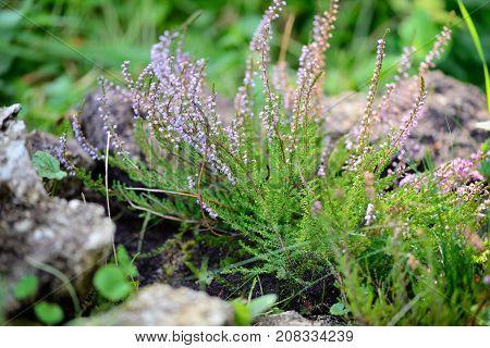 Beautiful blossoming purple heather (Calluna vulgaris). Close