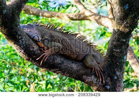 Orange colored Iguana resting in a tree near Tempisque river - Muelle de San carlos, Costa Rica
