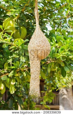 nest of Baya Weaver on pomelo tree