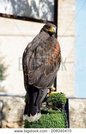 View of a captive Harris Hawk on a perch Malta Europe.