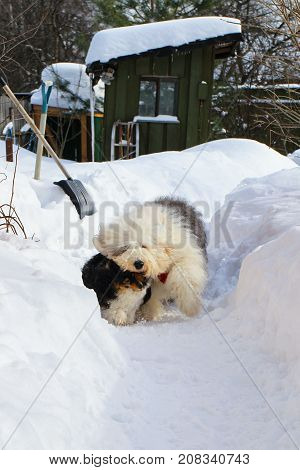 Sheltie and Bobtail dogs in winter in a snowdrift. Color white with ers both dogs with red tassels on the collars. A beautiful picture with dogs with long hair.Village.