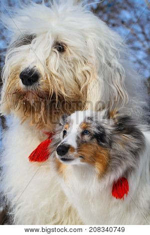 A double portrait of Sheltie and Bobtail dogs in winter in a snowdrift. Color white with ers both dogs with red tassels on the collars. A beautiful picture with dogs with long hair.