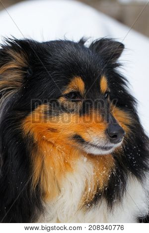 Sheltie dog in a snowdrift. Black color with red tan.