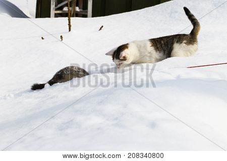 A cat and a ferret are playing in the snow in snowdrifts.