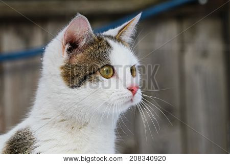 A cat is purebred in the snow in snowdrifts. portrait close-up profile.