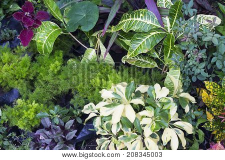 Fresh leafy photo background. Tropical foliage plant in exotic garden. White and green leaf of exotic plant. Relaxing view of natural greenery. South Asia tropical garden flora. Natural leaf ornament
