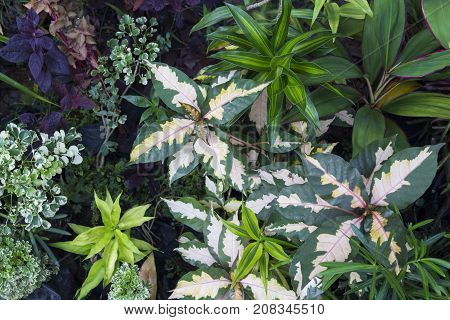 Summer leafy photo background. Tropical foliage plant in exotic garden. White and green leaf of exotic plant. Relaxing view of natural greenery. South Asia tropical garden flora. Natural leaf ornament