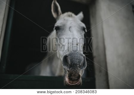 Portrait of white horse showing the head through stable door