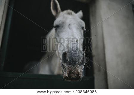 Portrait of old white horse showing the head through stable door