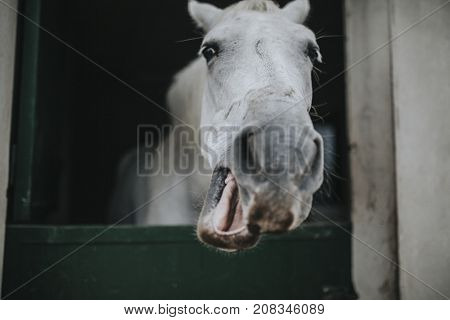 Funny portrait of white horse showing the head through stable door