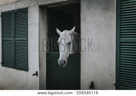 White horse showing the head through stable door