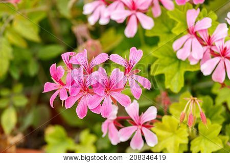 This a Beautiful small pink geranium flowers