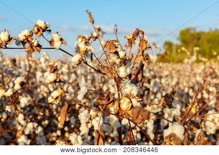 Cotton Buds On Bush