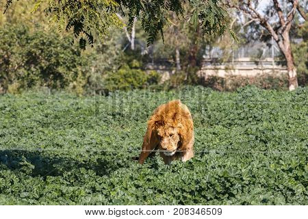 A Male lion behind of a wire fence