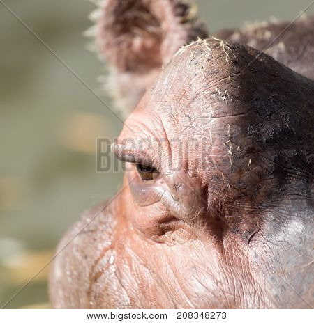 eye hippo . In the park in nature