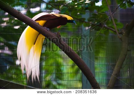 Colorful Lesser Bird on a tree in a jurong birds park. A bird with a beautiful yellow east