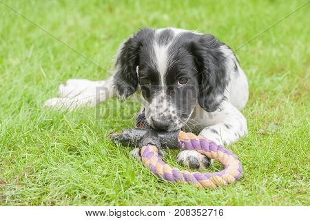 cute playful spaniel puppy chewing a tug toy